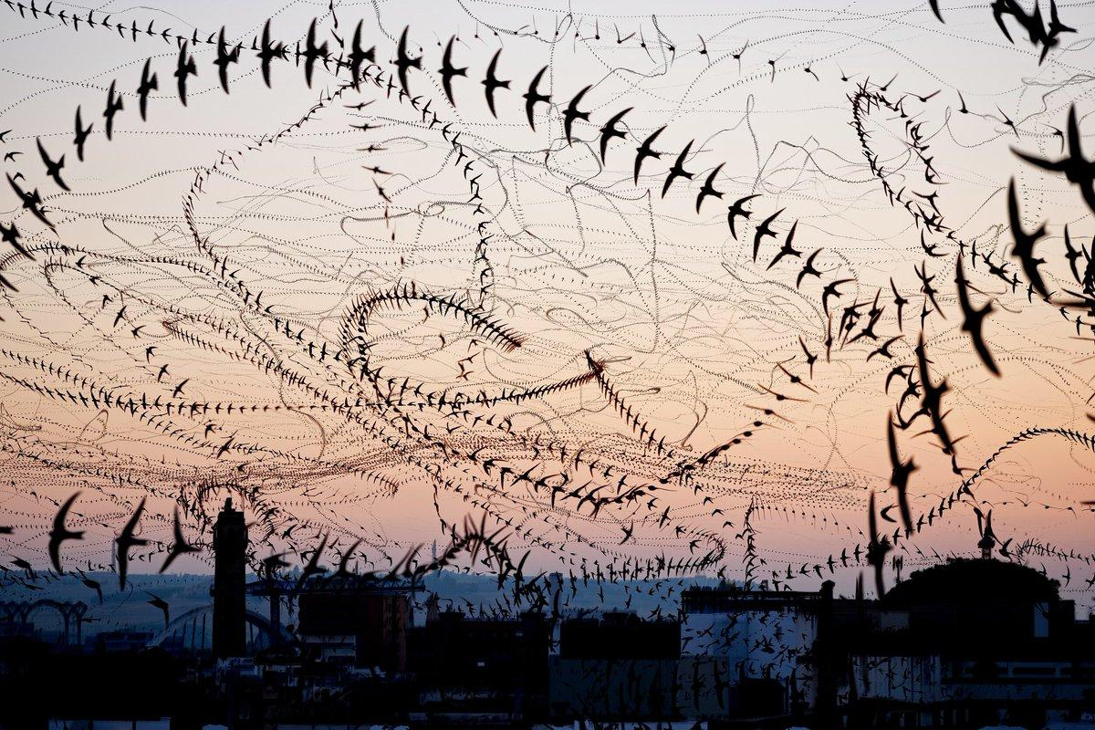 Composite photo of swifts in flight in late summer